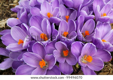 Clump of purple crocus flowers fills the frame in early spring