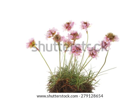 Clump of Thrift, Armeria maritima or sea pink flowers isolated against white - stock photo
