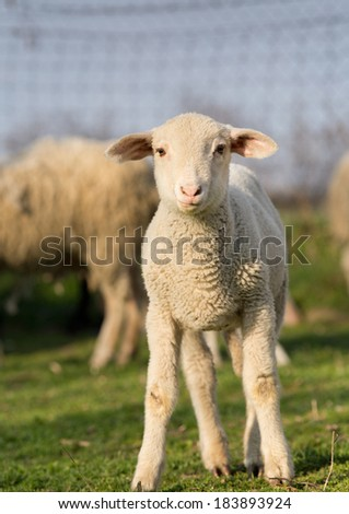 Clumsy lamb standing on grass and looking at camera - stock photo