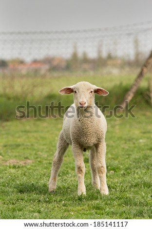 Clumsy lamb standing on grass and looking at camera