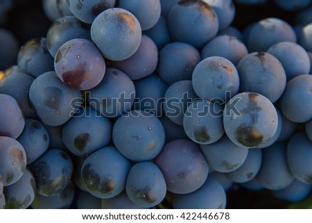 Cluster detail of  black grapes  - stock photo