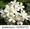 cluster of beautiful Frangipani - stock photo