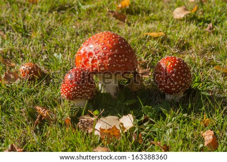 cluster of button shaped fly agaric mushrooms growing on meadow - stock photo