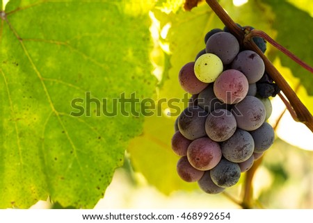 Cluster of colorful grapes growing on a wine grapevine in a vineyard in east Tennessee