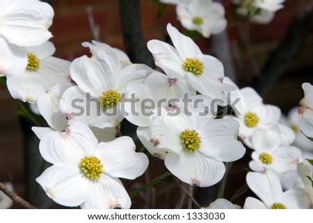 Cluster of dogwood blossoms in front of a brick wall - stock photo