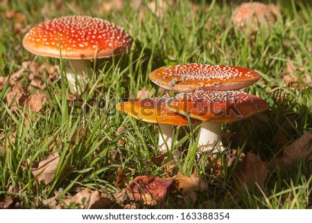 cluster of fly agaric mushrooms growing on meadow - stock photo