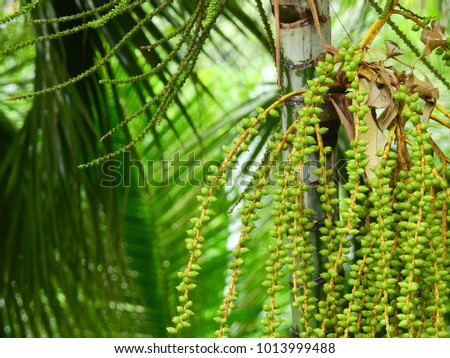 cluster of green dates of palm tree
