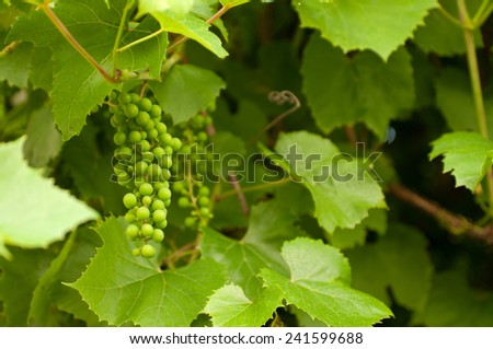 cluster of green not mature grapes on a branch/ Green bunch - stock photo