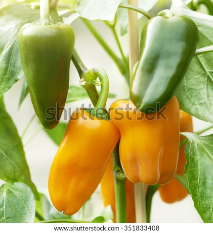 Cluster of healthy orange bell pepper growing on a plant with fresh green leaves - stock photo