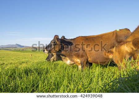 Cluster of Jersey cows in kikuyu in Natal, South Africa