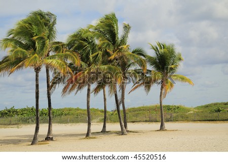 Cluster of Palm Trees on Miami's South Beach - stock photo