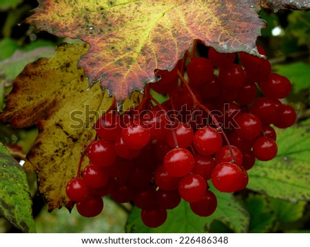 cluster of red viburnum among autumnal leaves - stock photo