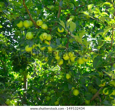 Cluster of ripe apples on a tree branch - stock photo