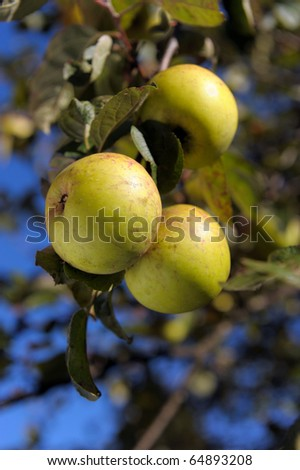 Cluster of ripe green apples on a tree branch