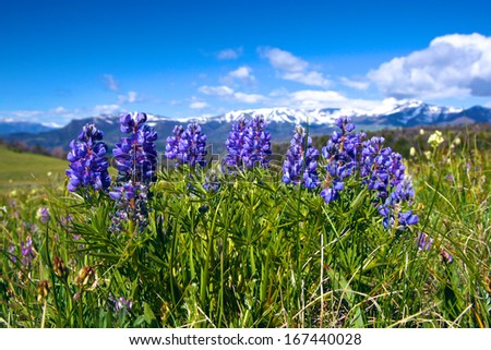 Cluster of silver lupine in a meadow of the American west's Rocky Mountains. - stock photo