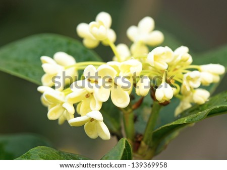 Cluster of Sweet osmanthus flower and leaves close up - stock photo
