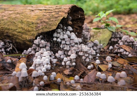 Cluster of tiny mushrooms growing out of a old rotting log - stock photo