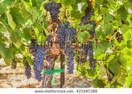 Clusters of plump ripe syrah grapes grown on the vine in a vineyard in the Red Mountain appellation of Washington State.