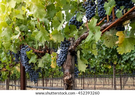 Clusters of ripe red wine grapes on the vine at harvest. Looking up at grapevines in autumn, with green, yellow leaves. Grapes hang from vines in Napa Valley California. - stock photo