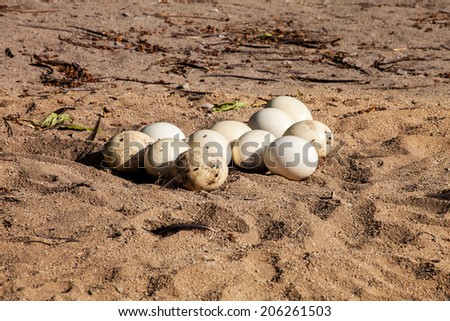 clutch of eggs in the sand ostrich Struthio camelus
