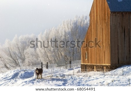 Clydesdale horse and winter frost