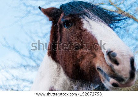 Clydesdale Horse Stock Images Royalty Free Images