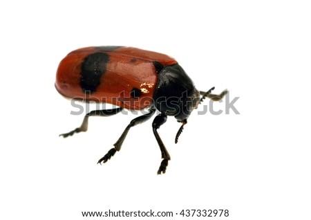 Clythra leaf beetle isolated on white. - stock photo