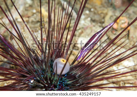 Co-living shrimp and sea urchin