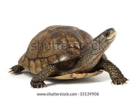 Coahuilan Box Turtle (Terrapene Coahuila) isolated on white background. - stock photo