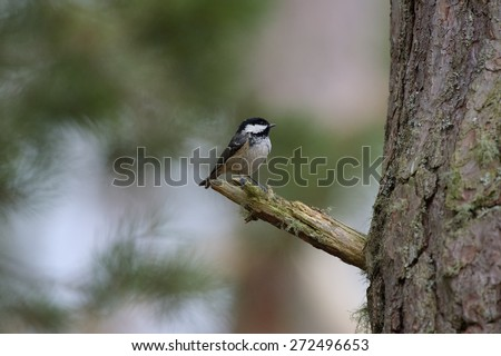 Coal tit on gloved hand
