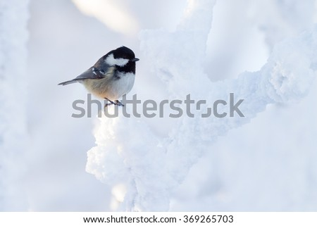 coal tit (Parus ater) in winter