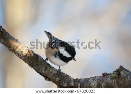 Coal Tit perched a tree branch. Small bird common to gardens and woodlands.