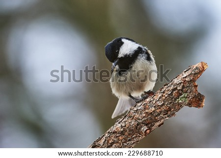 Coal tit perched on a branch in a forest of larch trees - stock photo