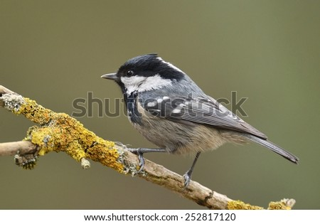 Coal Tit (Periparus ater) on a tree branch. - stock photo