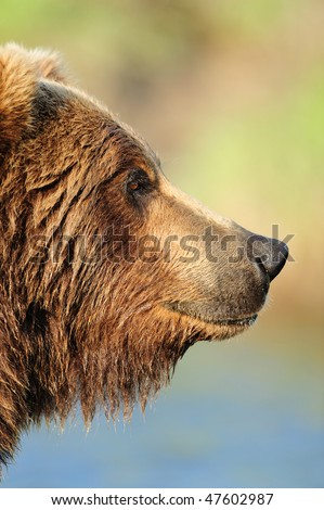 Coastal Alaskan brown bear on the lookout for other bears or another place to fish. - stock photo