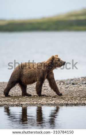 coastal alaskan grizzly bear fishing for salmon in katmai national park
