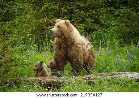Coastal Brown Bears