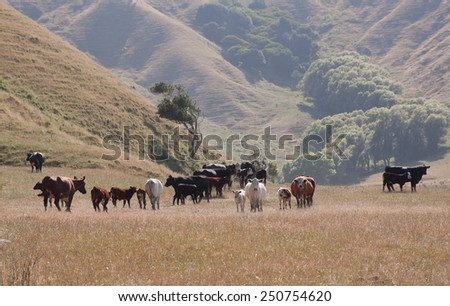 coastal New Zealand farming paddock in summer with Hereford and Charolais cross cows and calves  - stock photo