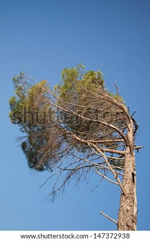 Coastal pine tree above blue sky - stock photo