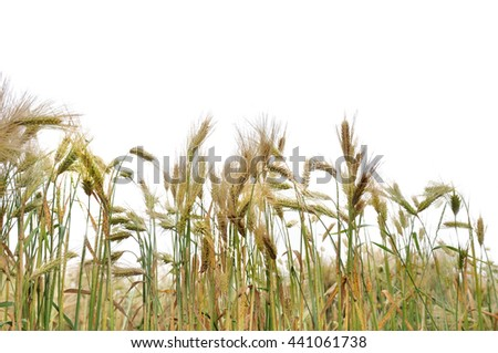 cob ripe barley field isolated on white background - stock photo