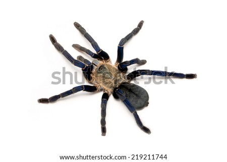 Cobalt blue tarantula isolated on white - Haplopelma lividum. The cobalt blue tarantula is a medium size tarantula, being  fast and defensive  with potent venom. - stock photo