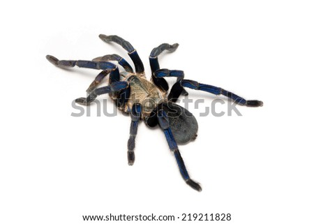 Cobalt blue tarantula isolated on white- Haplopelma lividum. The cobalt blue tarantula is a medium size tarantula, being  fast and defensive  with potent venom. - stock photo