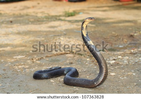 Cobra - stock photo