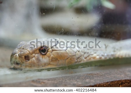 cobra in glass cabinet no.2 - stock photo