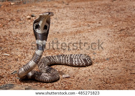 cobra in Sri Lanka