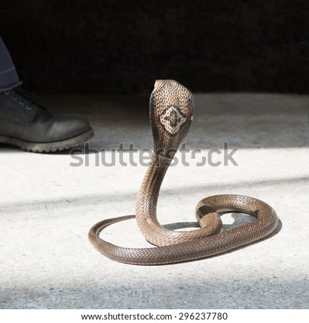 Cobra look a man shoes - stock photo