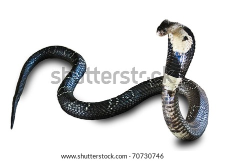 Cobra snake isolated on white background - stock photo