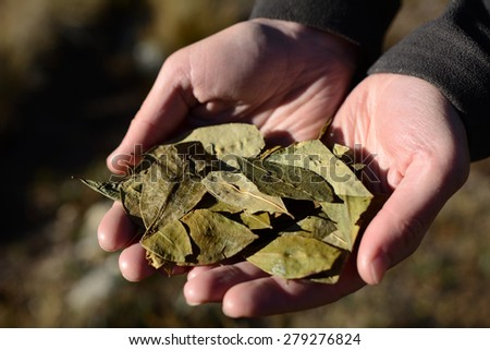 Coca leafs in the hands, close up image, shallow depth of field