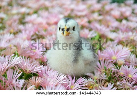 Cochin Chick in Flowers