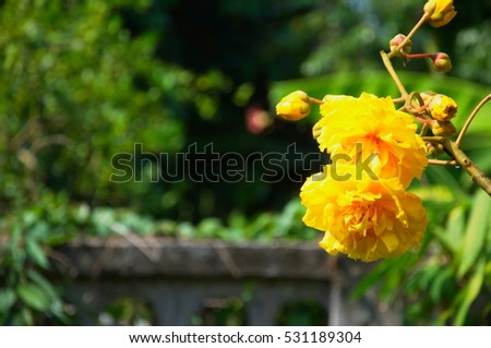 TỨ TUYỆT HOA 2 - Page 34 Stock-photo-cochlospermum-religiosum-also-known-as-a-yellow-cotton-tree-silk-cotton-tree-cochlospermum-531189304